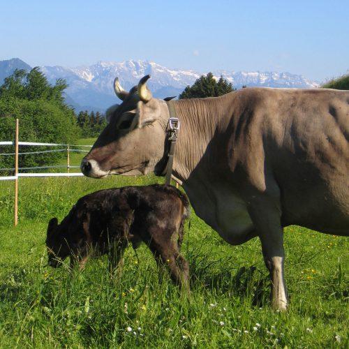 Bio Ferienhof Hagspiel Kuh mit Kalb